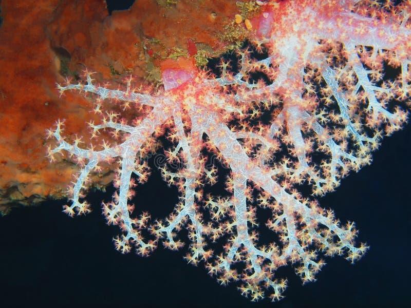 Coral suave imágenes de archivo libres de regalías