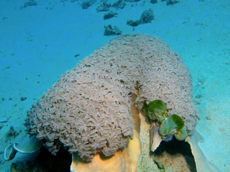 Coral suave fotos de archivo libres de regalías