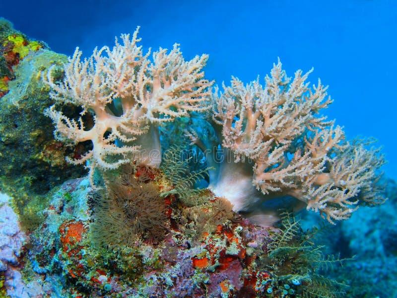 Coral suave imagen de archivo