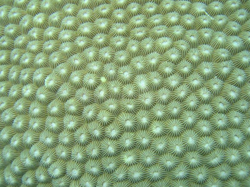 coral szczegół mocno obraz royalty free