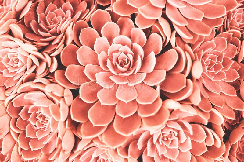 Coral toned succulent. Many succulent plants background. Trendy coral color toning. Color of the 2019 year concept stock photo