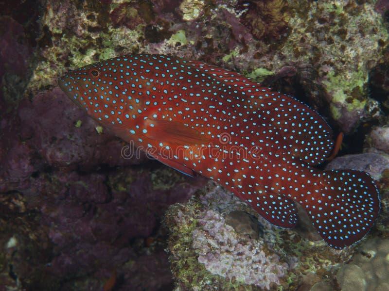 Coral traseiro fotos de stock