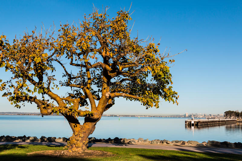 Coral Tree in Chula Vista with San Diego Bay. Coral tree in the golden light of an autumn morning at Chula Vista Bayfront park with fishing pier and San Diego stock photography