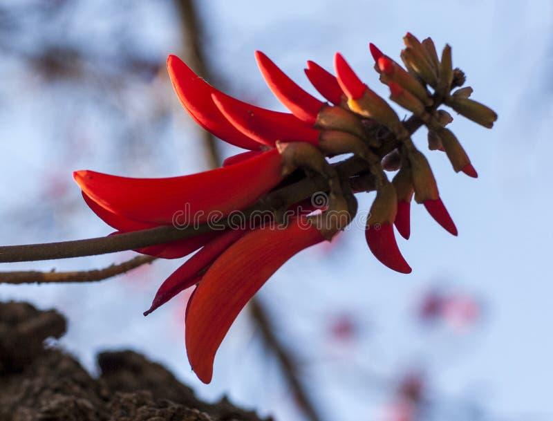 Coral Tree Flower image libre de droits