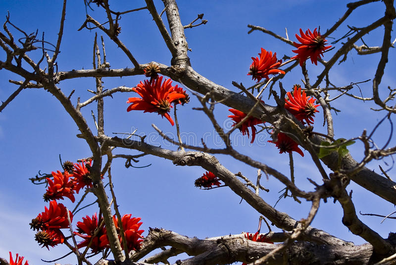 Coral Tree in Flower. Erythrina lysistemon (Hutch.) aka Common Coral Tree, Lucky Bean Tree, Kaffir Boom or Transvaal Kafferboom is a deciduous tree native from royalty free stock photo