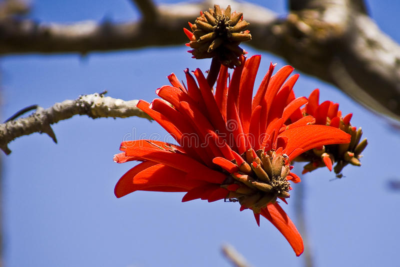 Coral Tree - Flower - Macro. Erythrina lysistemon (Hutch. ) aka Common Coral Tree, Lucky Bean Tree, Kaffir Boom or Transvaal Kafferboom is a deciduous tree stock images