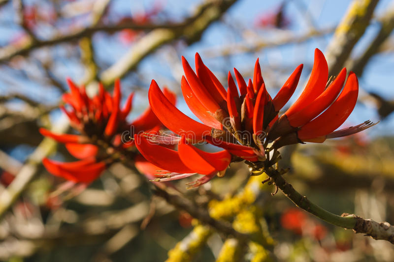 Coral tree flowers. Detail of red coral tree flowers stock image