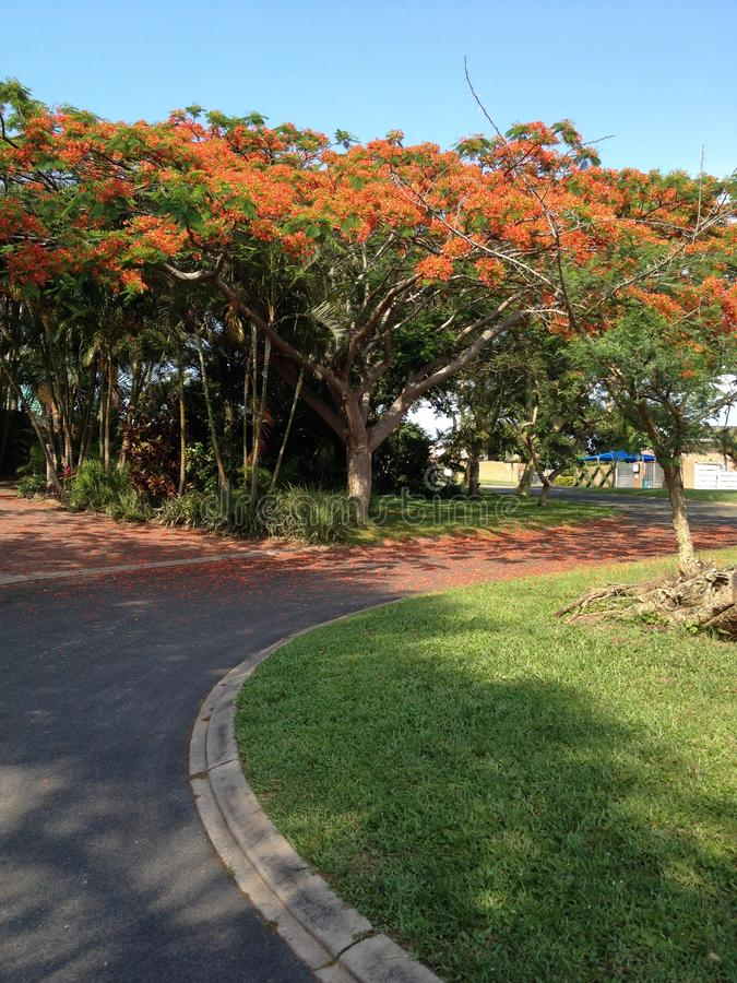 Coral trees down the street stock photo