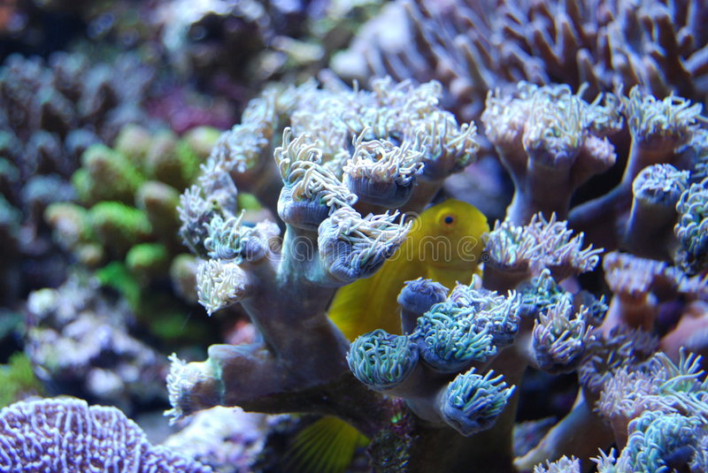 Coral under water, yellow fish hiding stock images