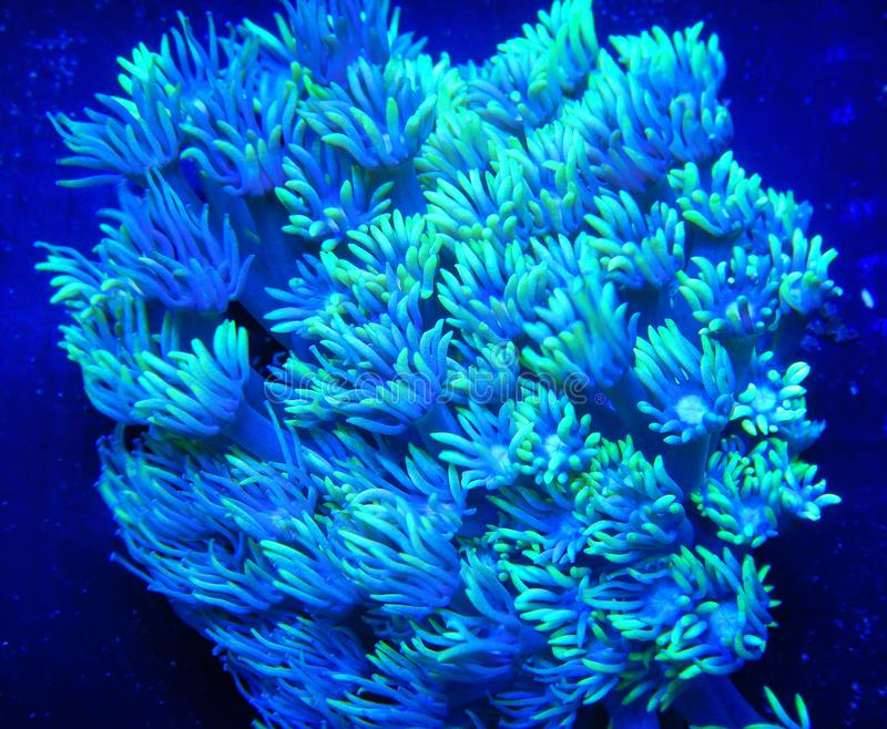 Coral verde-brilhante Goniopora em fundo preto fotografia de stock