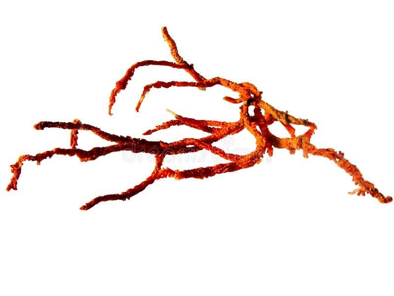 Coral vermelho imagem de stock royalty free