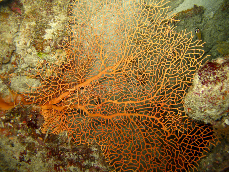 Coral vermelho do ventilador imagens de stock royalty free