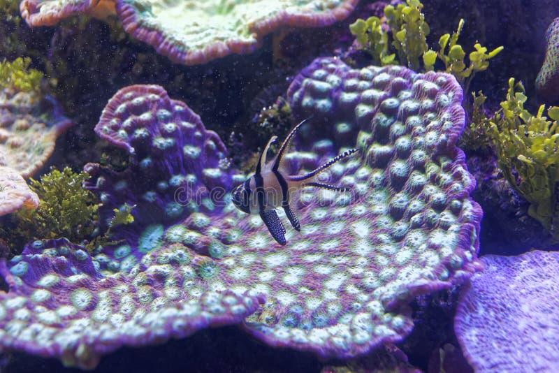 Coral violeta com o mundo subaquático dos peixes violetas
