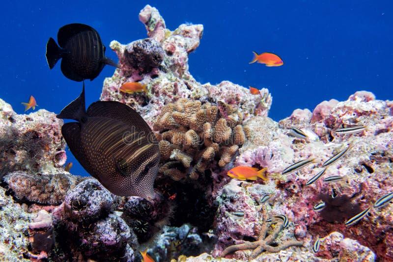 Corales de Maldivas y panorama subacuático de los pescados fotografía de archivo