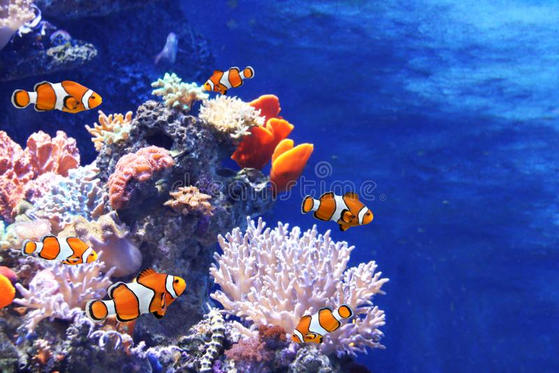 Corales del mar y pescados del payaso imágenes de archivo libres de regalías