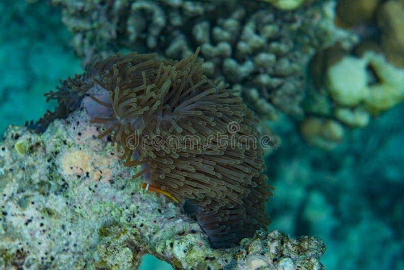 Corales hermosos subacuáticos en el Océano Índico en Maldivas fotografía de archivo