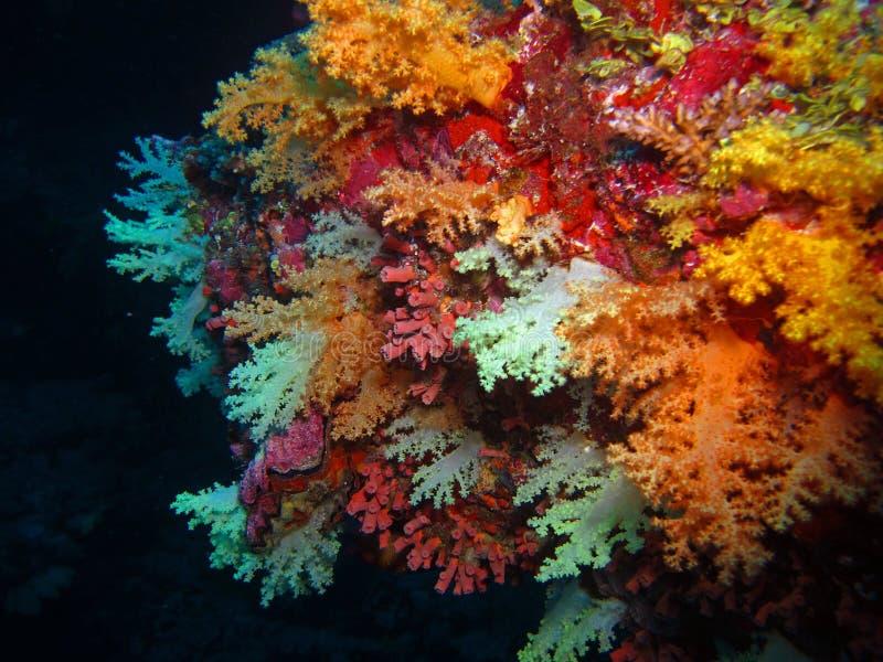 Corales suaves foto de archivo libre de regalías