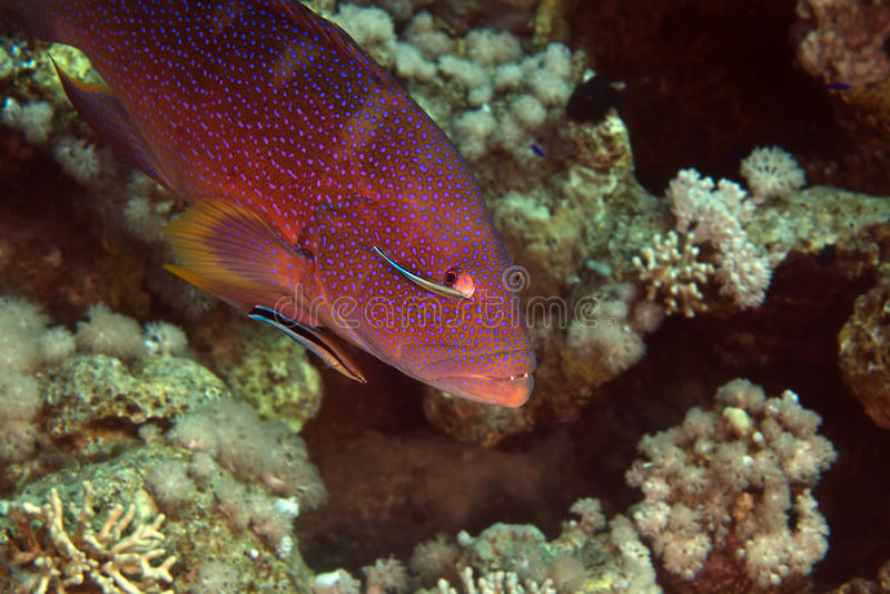 Coralgrouper en reinigingsmachine wrasse in DE Red Sea. stock foto's