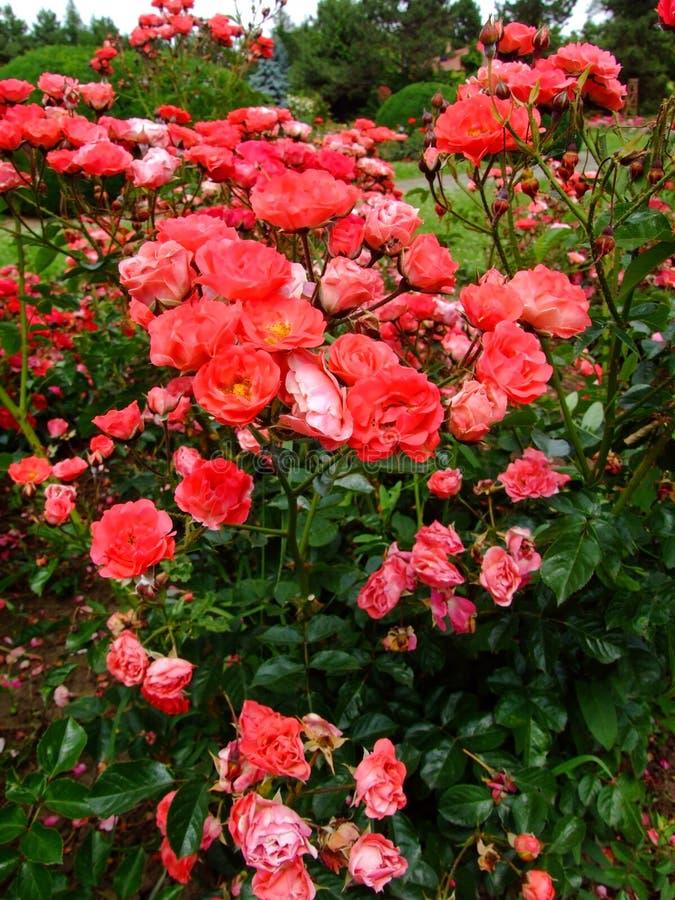 Coralin Rose stockfotografie