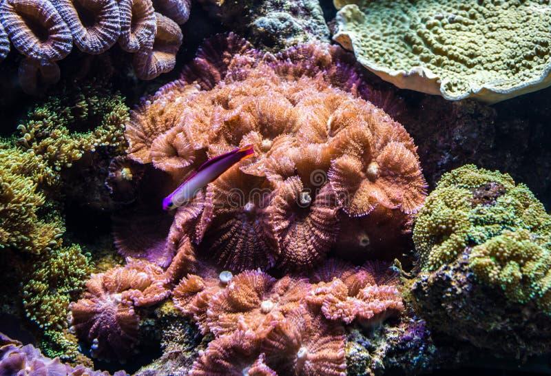 Coralli in acquario fotografia stock libera da diritti