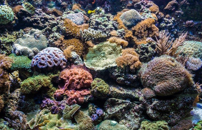 Coralli in acquario immagini stock