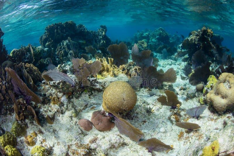 Coralli che crescono sulla scogliera caraibica bassa immagini stock libere da diritti
