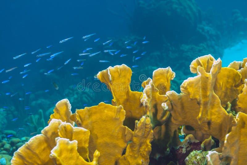 Coralli del fuoco della barriera corallina fotografie stock libere da diritti