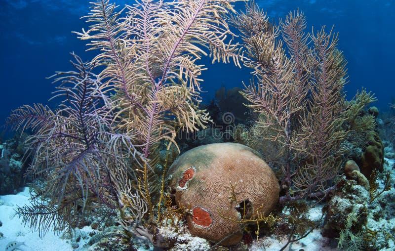 Coralli e corallo di cervello molli immagini stock libere da diritti