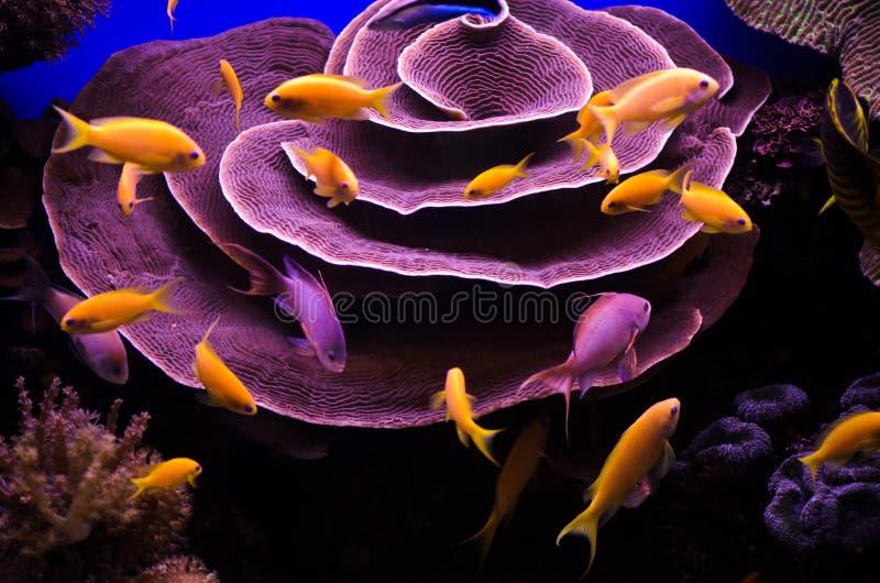 Coralli e pesci subacquei del Mar Rosso immagini stock libere da diritti