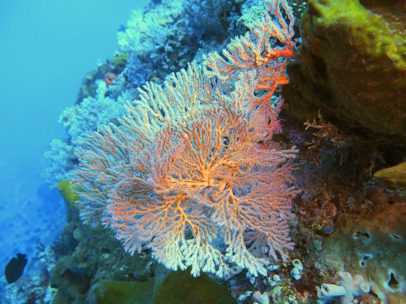 Corallo di Gorgonio fotografie stock libere da diritti