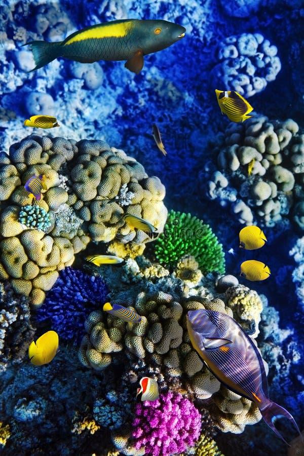 Corallo e pesci nel Mar Rosso. L'Egitto fotografia stock libera da diritti