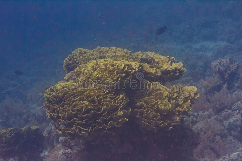 Corallo frondoso giallo della tazza in Mar Rosso immagini stock libere da diritti