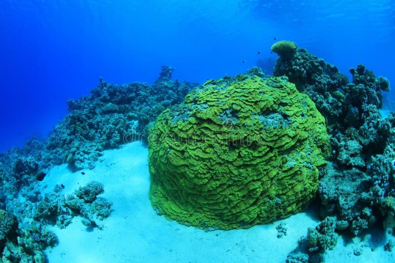 Corallo giallo del rotolo fotografie stock