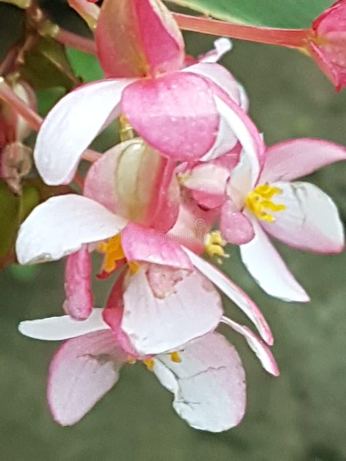 Corallo rosa del fiore nel giardino 2 fotografia stock