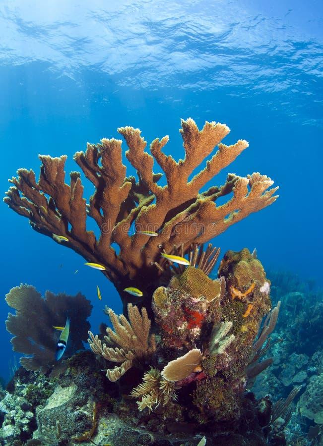 Corallo subacqueo del elkhorn della barriera corallina immagine stock