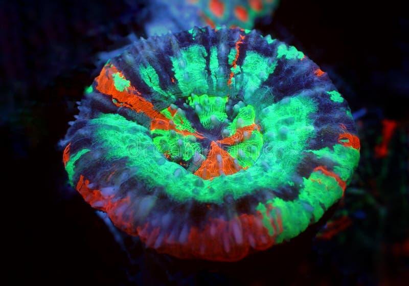Corallo variopinto di SPS del Acropora in carro armato dell'acquario della scogliera immagini stock
