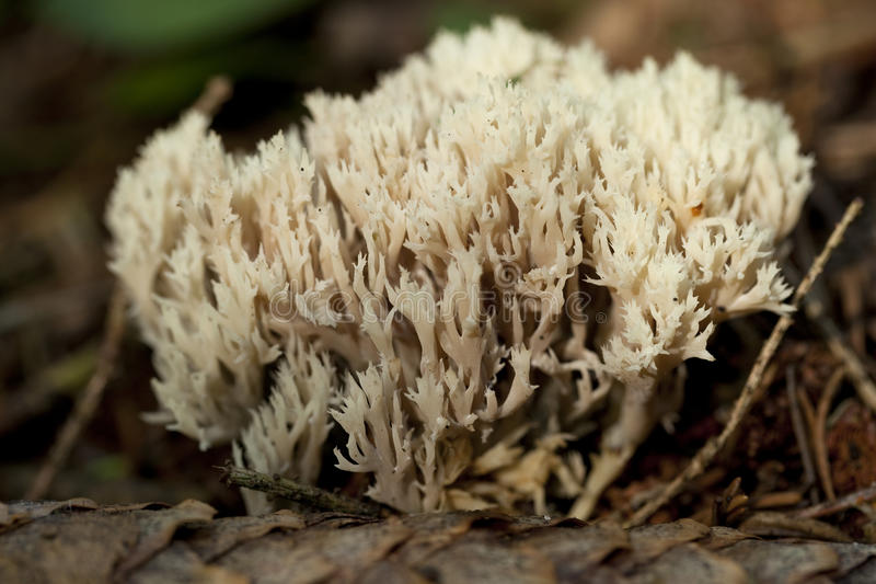 Coralloides de Clavulina photo stock