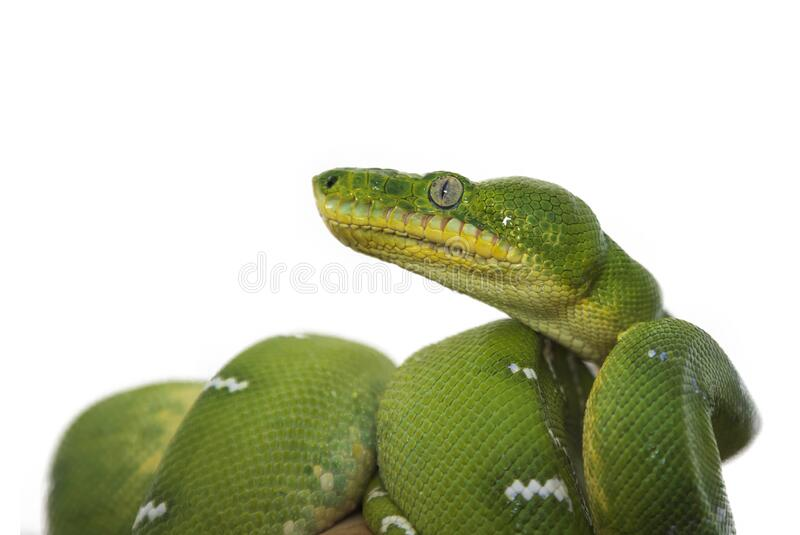 Corallus caninus - Green Snake - beautiful green snake. Curled body and head in profile. Photo on a white background royalty free stock image