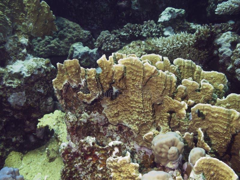 Coralreef im Roten Meer. lizenzfreie stockbilder