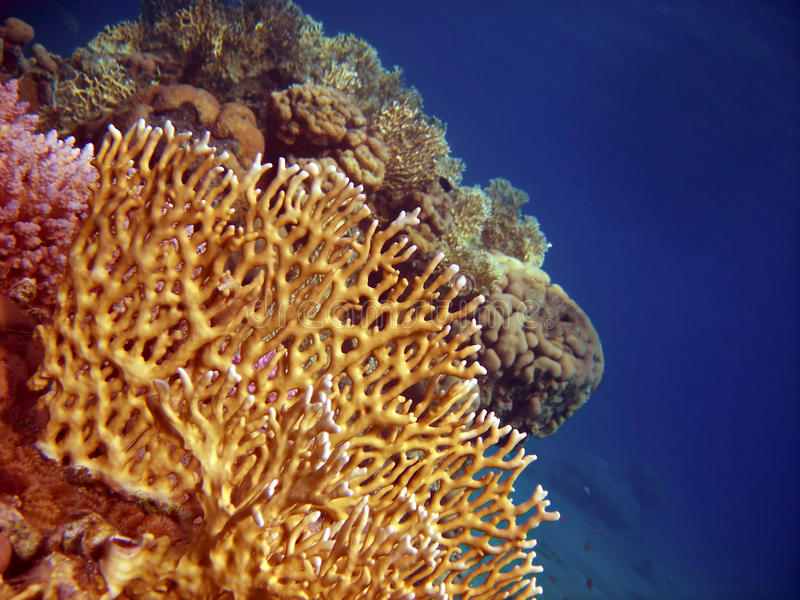 Corals royalty free stock images