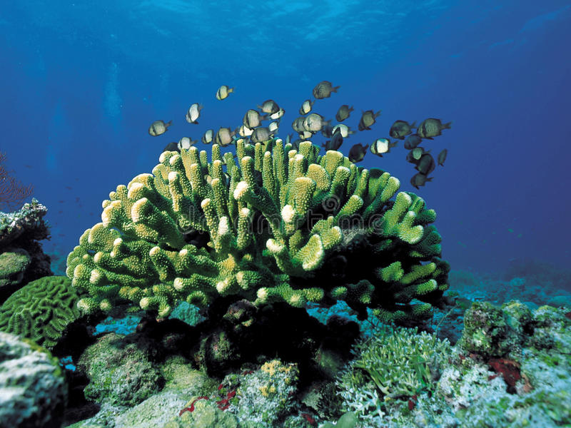 Download Corals Royalty Free Stock Photos - Image: 29063288