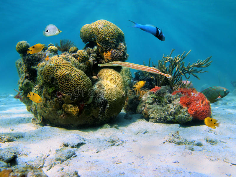 Download Corals In The Caribbean Sea Stock Photo - Image: 25355260