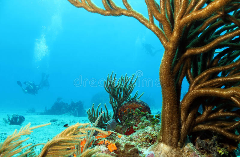 Corals and Divers. Corals with Divers in the Background, Cozumel, Mexico royalty free stock image