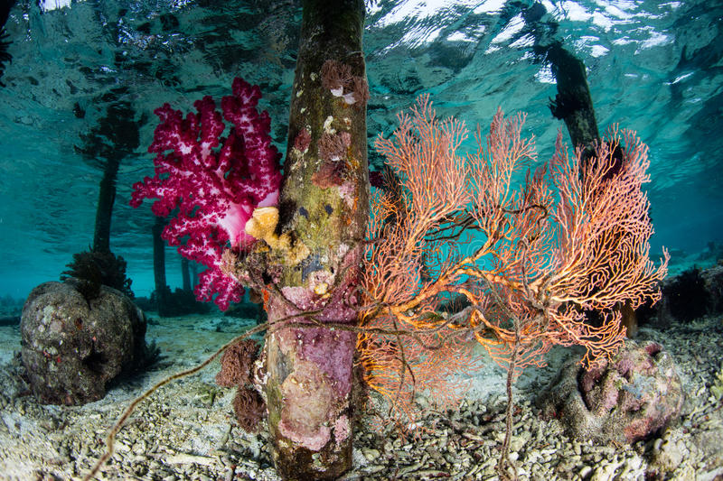 Corals Growing Under Pier in Raja Ampat. A beautiful set of corals grows on pier pilings in Raja Ampat, Indonesia. This remote region is the heart of the Coral royalty free stock image