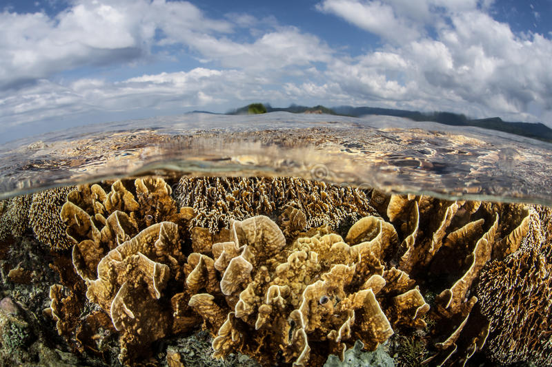 Corals in Shallows. Fire corals grow in extremely shallow water in Raja Ampat, Indonesia. This region is known as the heart of the Coral Triangle and harbors an royalty free stock photos