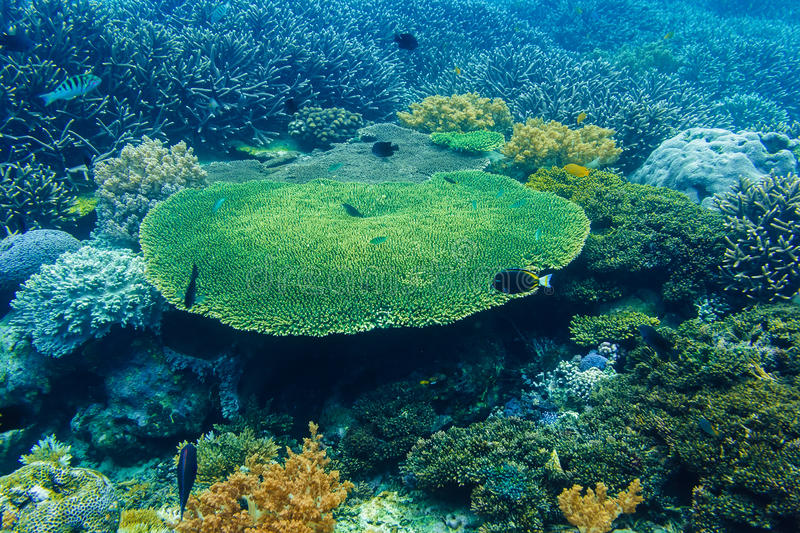 Corals underwater and tropical fish in the Indian Ocean stock image