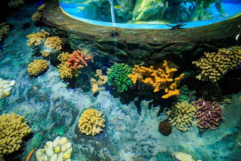 Coraux de plan rapproché sur le fond de réservoir dans Oceanarium de tube image stock