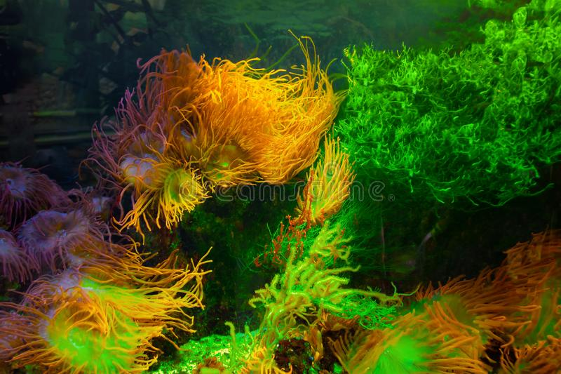 Coraux et algues de mer dans l'aquarium lumineux image libre de droits