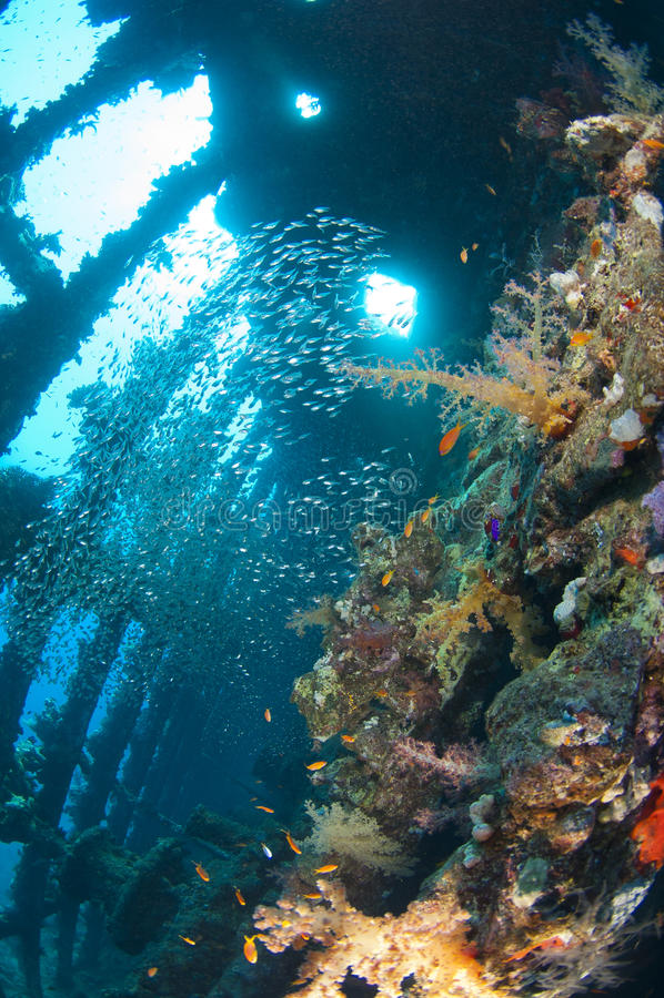 Coraux et glassfish mous à l'intérieur d'un grand naufrage photos libres de droits