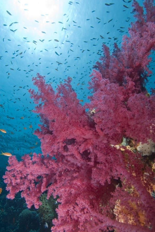 Coraux mous vibrants image libre de droits